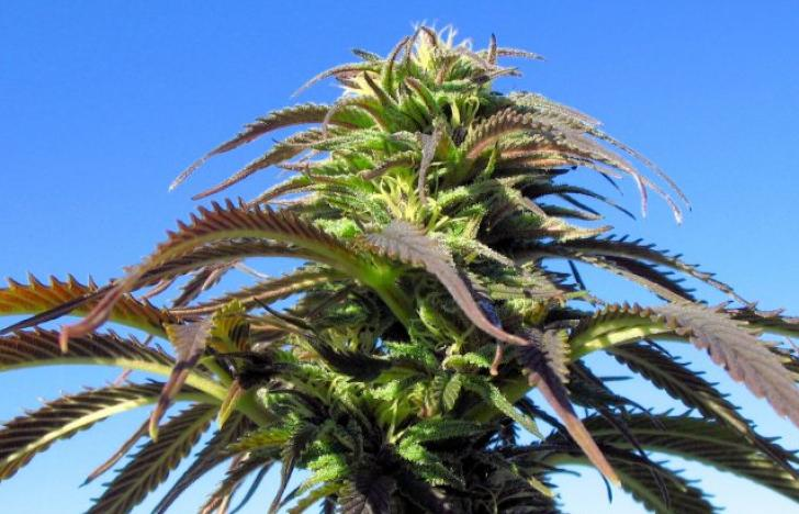 Cannabis führt vor Kokain und Ecstacy